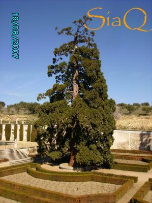 Las Sequoias del Palacio de la Quinta de El Pardo.